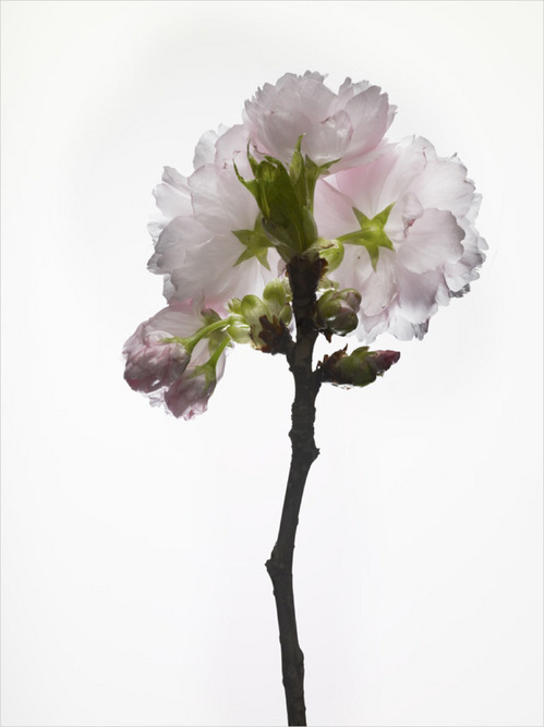 th_cherry_blossom_#2.jpg