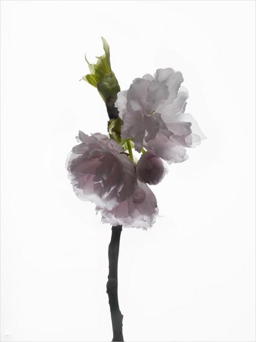 th_cherry_blossom_#4.jpg