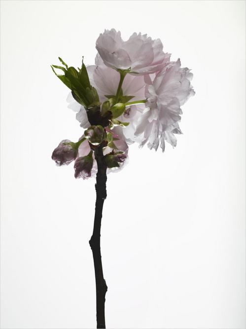 th_cherry_blossom_#6.jpg