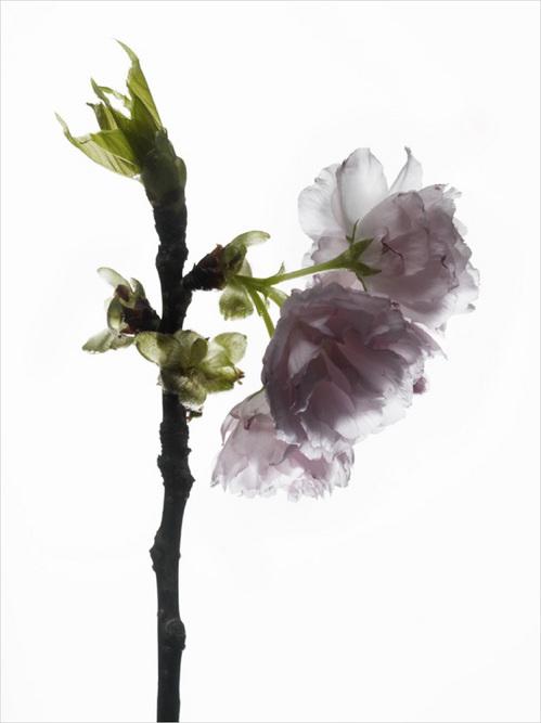 th_cherry_blossom_#7.jpg