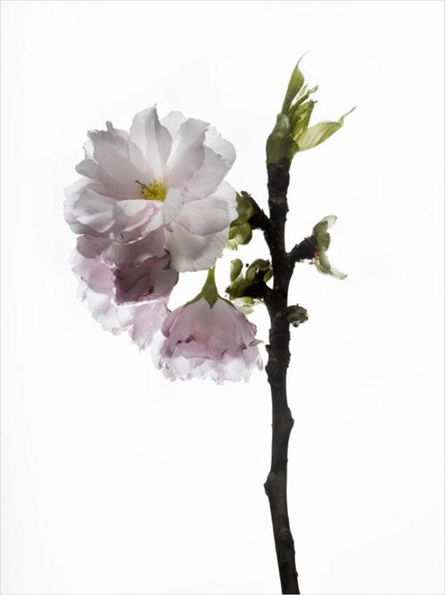 th_cherry_blossom_#8.jpg