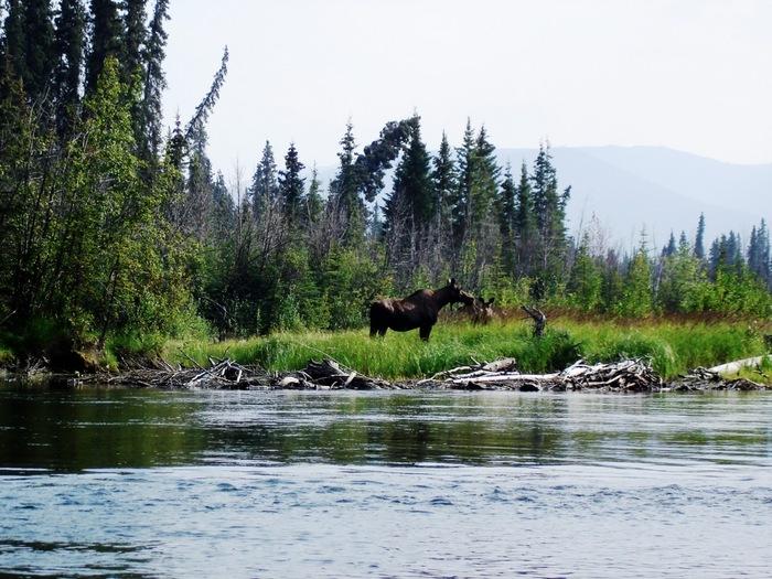 th_moose.jpg